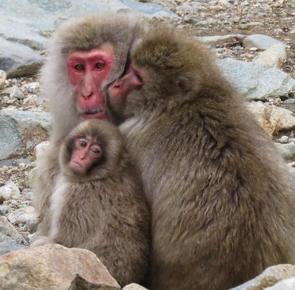 Jigokudani Monkey Park Nagano Japan