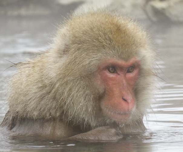 Jigokudani Monkey Park Nagano Japan with kids