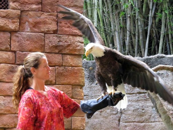 A Bald Eagle at Flights of Wonder.