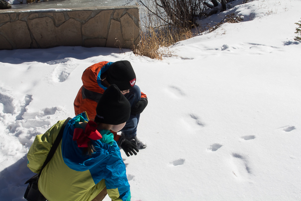 Studying animal tracks in the snow at Rocky Mountain National Park with kids