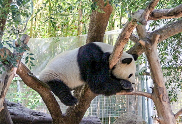 Visiting the pandas in San Diego with kids