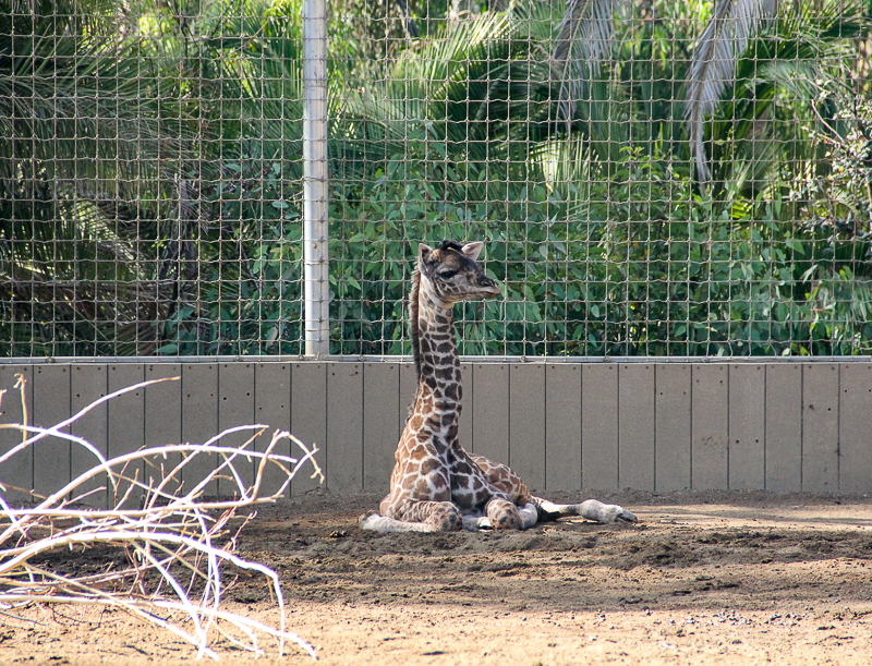 Things to do in San Diego for kids - visit the babies at the zoo.