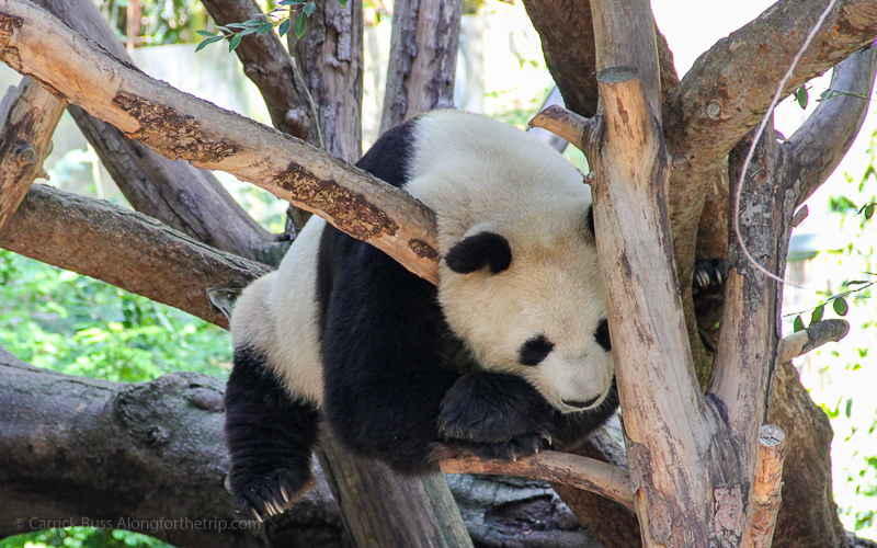 Visit the San Diego Zoo - cool things to do in San Diego.