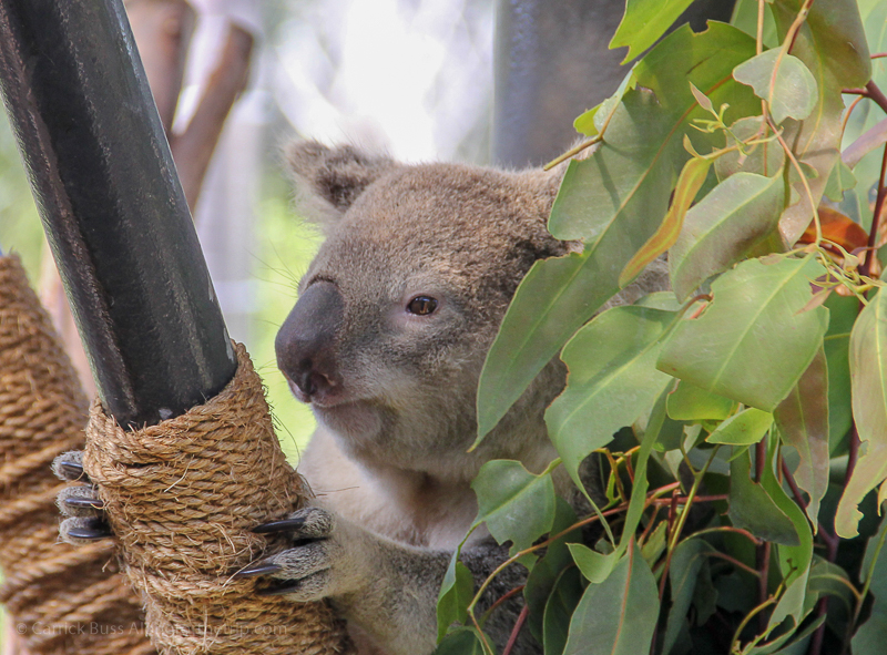 Things to do in San Diego for kids - Koala's at the San Diego Zoo