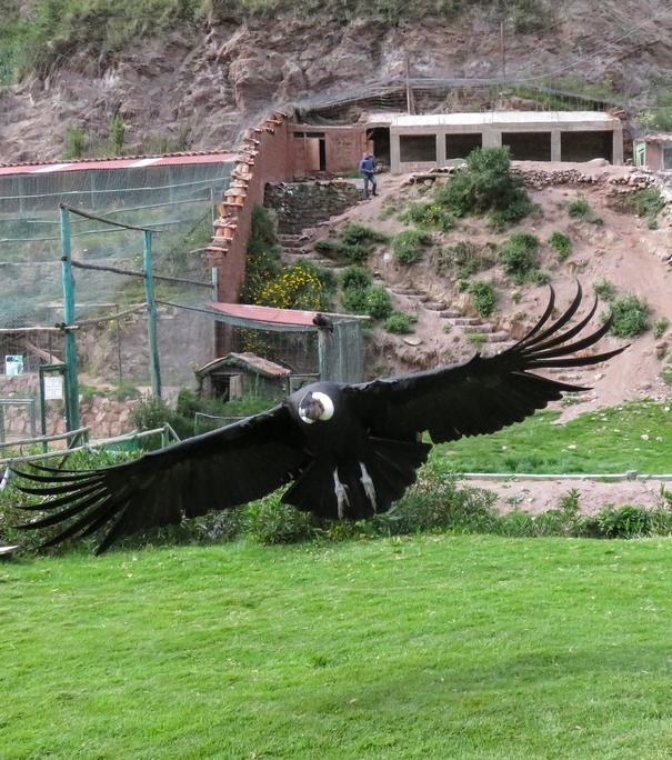 Santuario Cochahuasi Andean Condors Cusco Peru