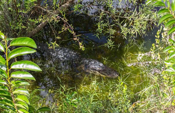 Alligators at Big Cypress National Preserve Florida