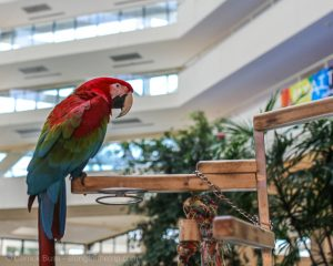 Merlot the parrot at Hyatt Regency Grand Cypress