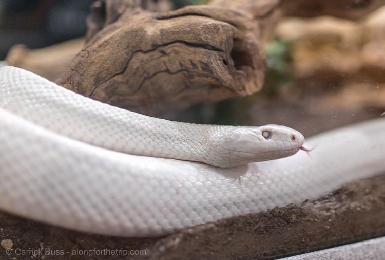 Fun Things to do in Albuquerque - visit the International Rattlesnake Museum