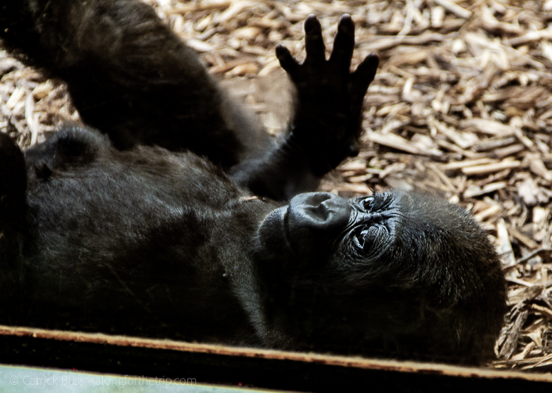 Gorillas at the Oklahoma City Zoo - things to do in Oklahoma City