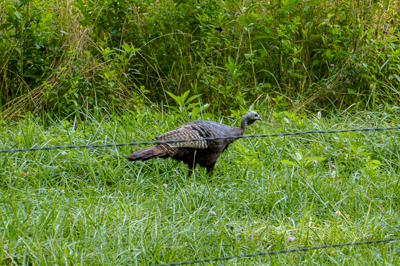 Wild turkey in Great Smoky Mountains National Park