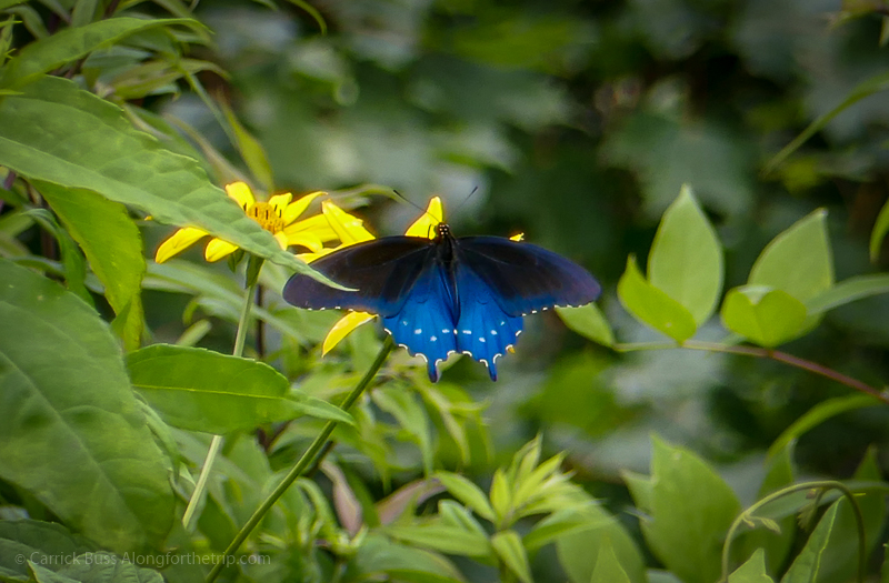 Swallowtail - animals in Great Smoky Mountains National Park