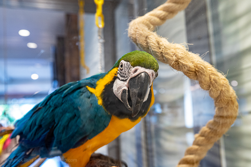 Rita the Macaw at Margaritaville Resort Gatlinburg TN
