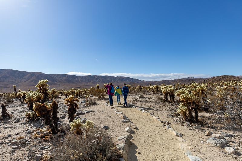 Hiking through the Cholla Cactus Garden in Joshua Tree California