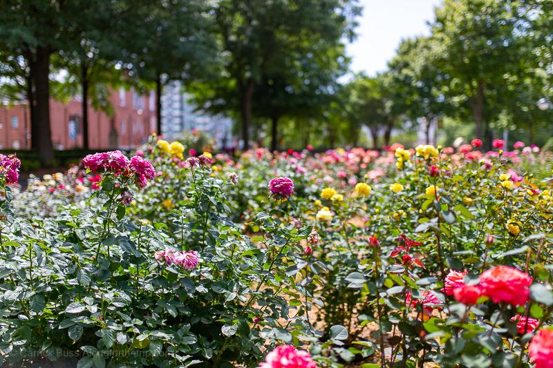 Martin Luther King NHP Rose Garden Atlanta